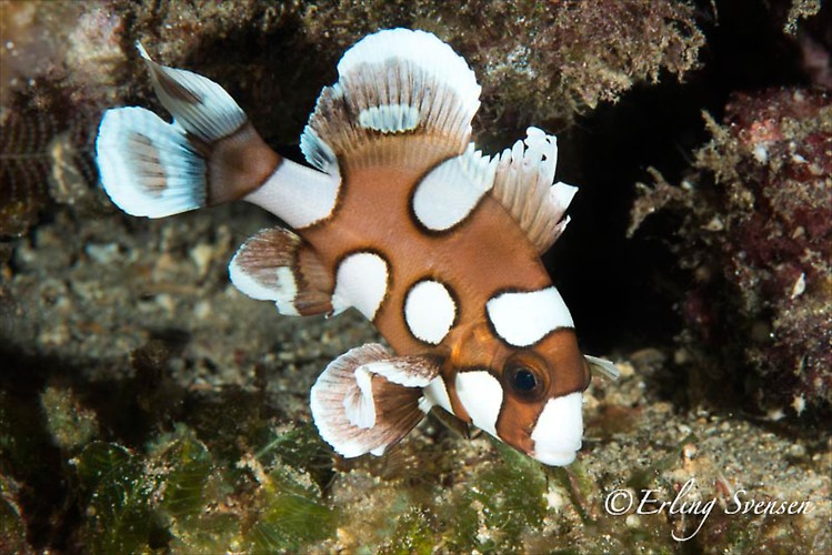 HARLEQUIN SWEETLIP JUVENILE (Plectorhinchus chaetodonoides), Lembeh Strait, Indonesia, December 2012