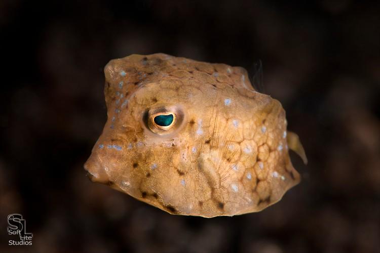 Thornback Cowfish (Lactoria fornasini), Lembeh Resort Indonesia, October 2012