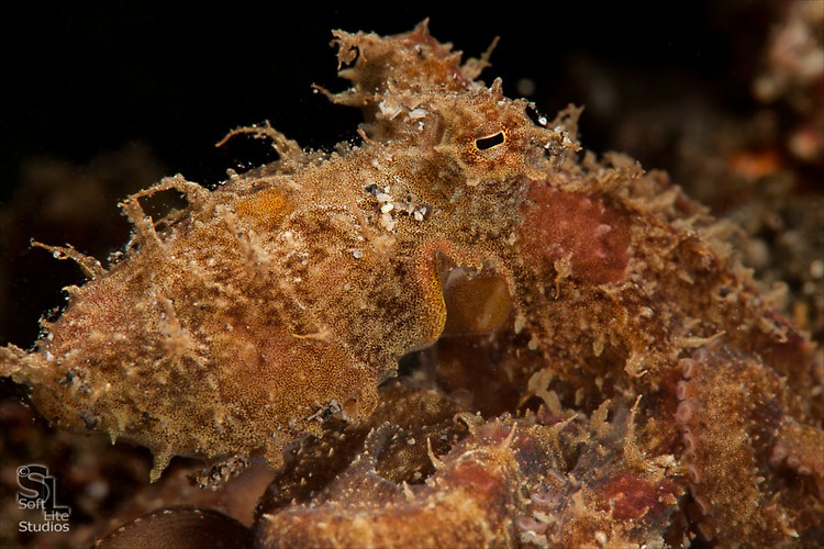 Algae Octopus (Abdopus abaculus), Lembeh Resort Indonesia, October 2012