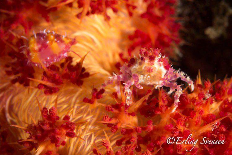 CANDY CRAB (Hoplophrys oatesii), Lembeh Strait, Indonesia, December 2012