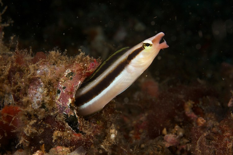 Slender Sabertooth Blenny, Critters@Lembeh, Diving