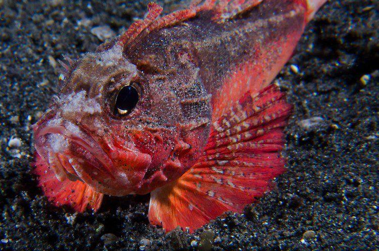 White face waspsfish- EF Dixon