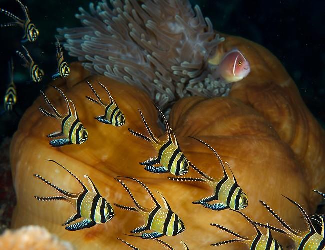 Banggai Cardinal (Pterapogon kauderni) & Pink skunk ClownFish on anemone Lembeh Strait Indonesia November 2012