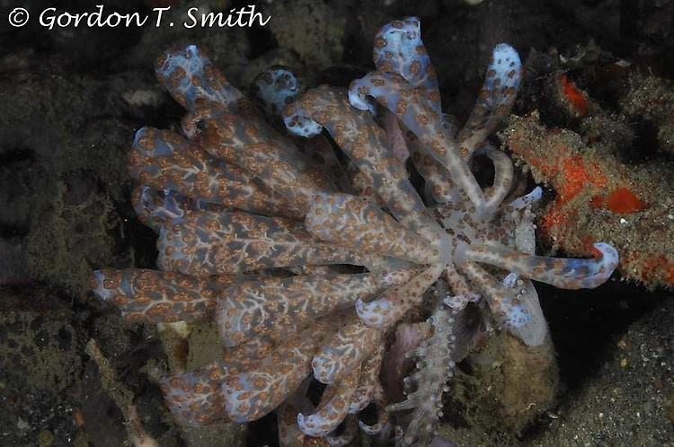 Solar-powered nudibranch, Phyllodesmium longicirrum, Lembeh Strait Indonesia, August 2013