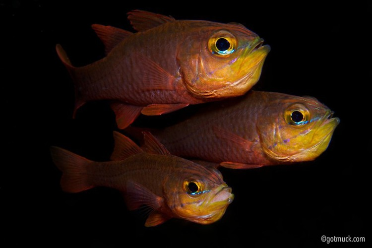 Yellow Eye Cardinalfish (Apogon monochrous), Lembeh Strait, Indonesia, April 2013