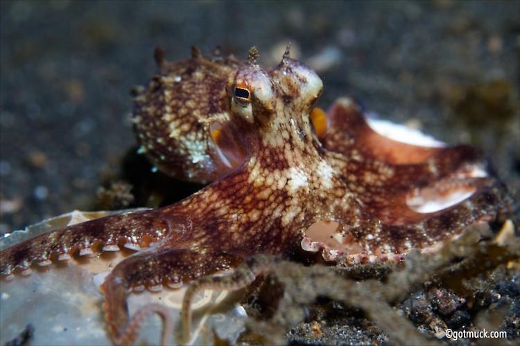COCONUT OCTOPUS OR VEINED OCTOPUS (Octopus marginatus), Lembeh Strait, Indonesia, April 2013