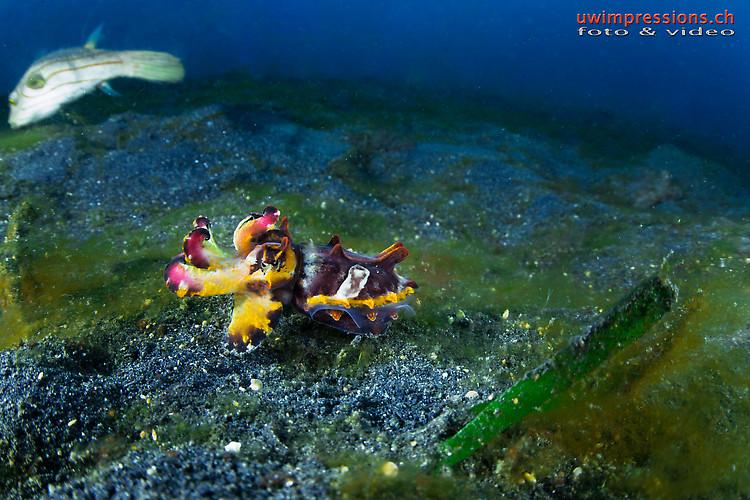 flamboyant cuttlefish, Metasepia pfefferi, Lembeh Strait Indonesia August 2015