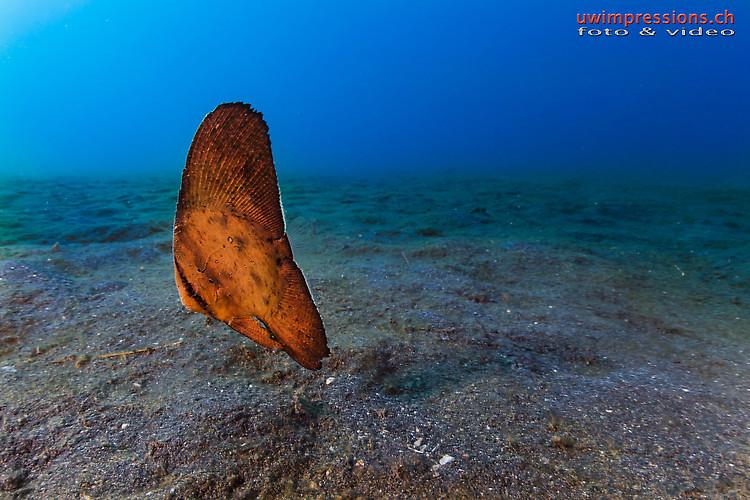 Circular batfish, Platax orbicularis, Lembeh Strait Indonesia August 2015