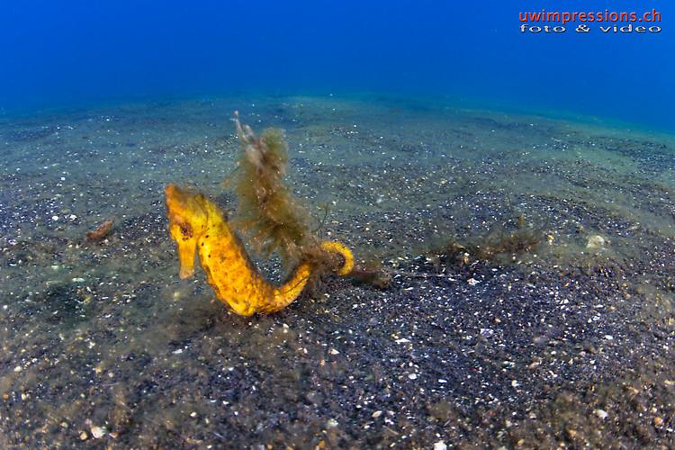 Yellow common seahorse, Hippocampus kuda, Lembeh Strait Indonesia August 2015
