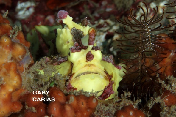 Warty Frogfish, Antennarius maculatus, Lembeh Strait Indonesia, January 2014