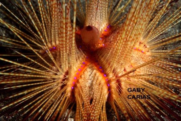 False fire urchin, Astropyga radiate, Lembeh Strait Indonesia, January 2014