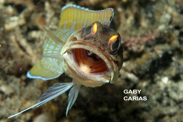 Yellow-barred Jawfish, Opistognathus sp, Lembeh Strait Indonesia, January 2014