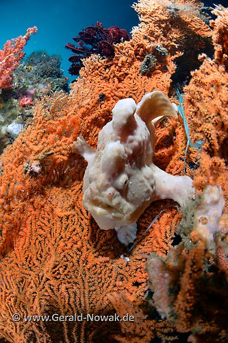 Giant Frogfish (Antennarius commersoni) Lembeh Strait Indonesia 2013