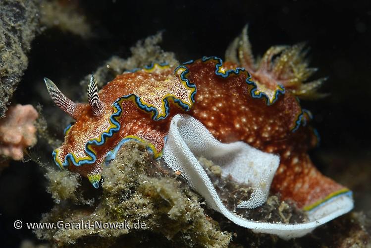 Glossodoris cincta Lembeh Strait Indonesia 2013