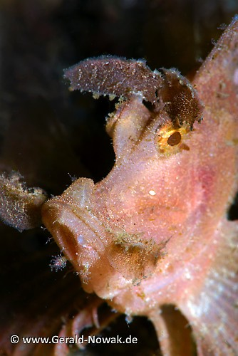 Weedy Scorpionfish (Rhinopias frondosa) Lembeh Strait Indonesia 2013