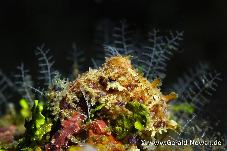 Blue Ringed Octopus (Hapalochlaena sp.) Lembeh Strait Indonesia 2013