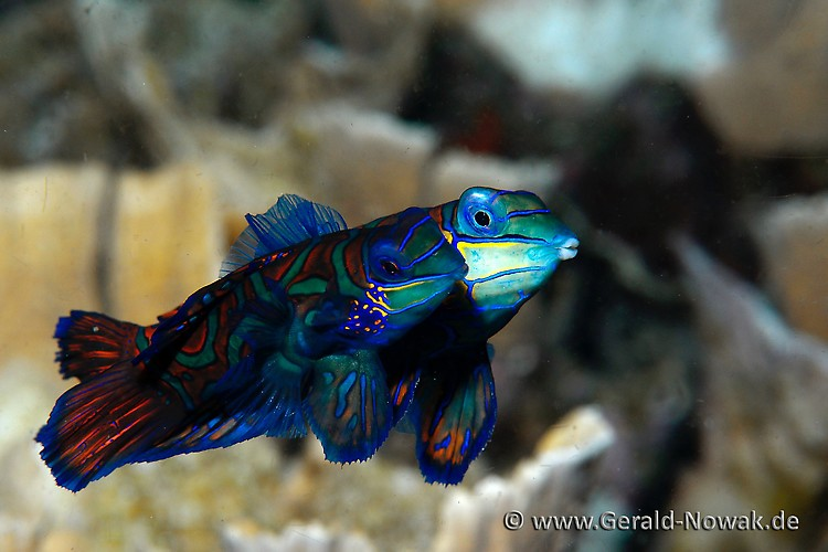Mandarin Fish (Synchiropus splendidus) Lembeh Strait 2013
