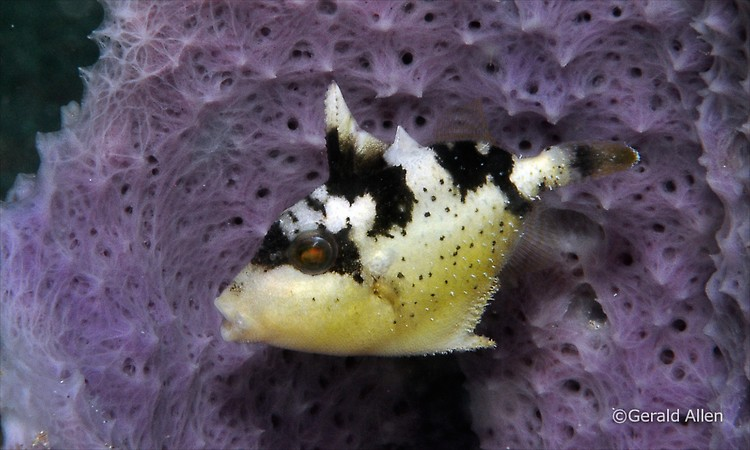 Yellowmargin triggerfish Pseudobalistes flavimarginatus juv Lembeh Strait Indonesia July 2014