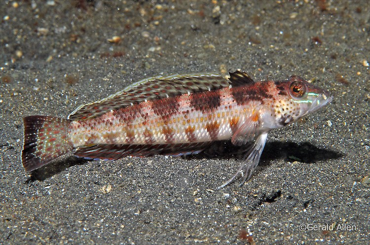 U-mark Sandperch Parapercis snyderi Lembeh Strait Indonesia July 2014