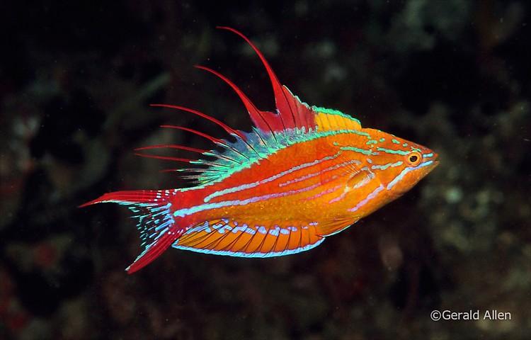 Filamented Flasher Wrasse Paracheilinus filamentous Lembeh Strait Indonesia July 2014