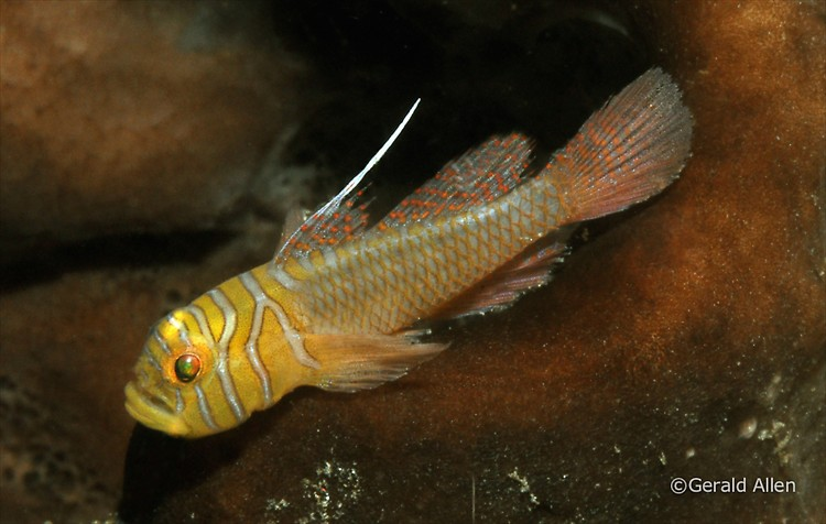Ribbon Reefgoby Priolepis vexilla Lembeh Strait Indonesia July 2014
