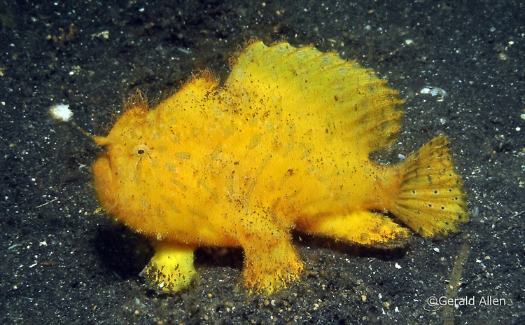 Hispid Frogfish Antennarius hispidus Lembeh Strait Indonesia July 2014