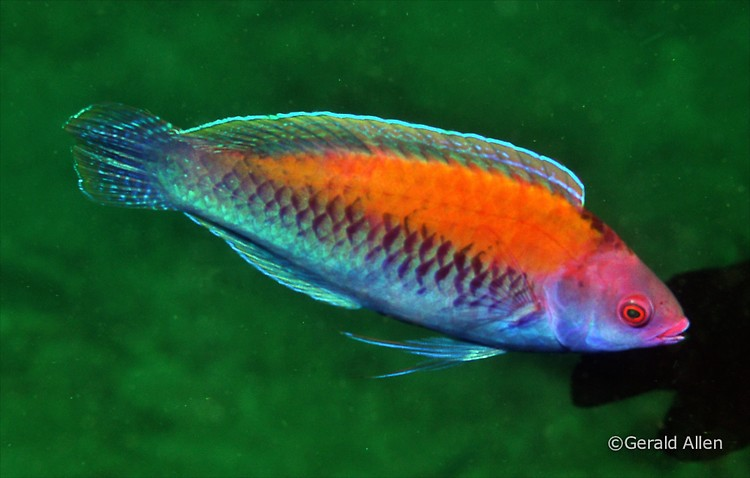 Orange-Back Fairy Wrasse Cirrhilabrus aurantidorsalis Lembeh Strait Indonesia July 2014