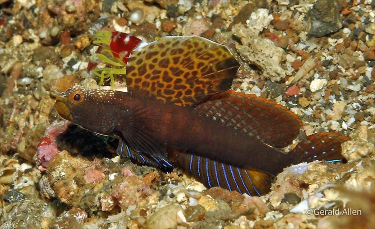 Tomiyamichthys sp. Lembeh Strait Indonesia July 2014