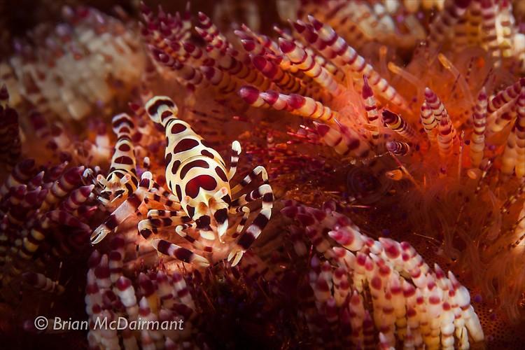 Coleman Shrimp Lembeh