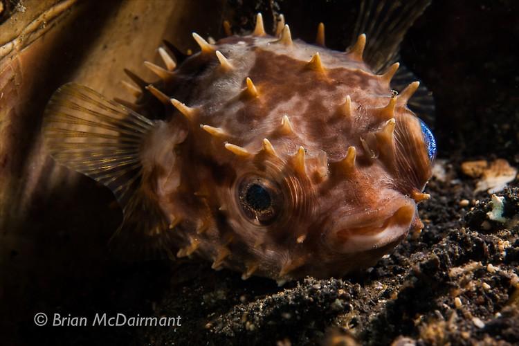 Porcupine Fish Lembeh