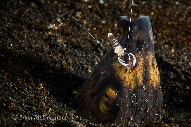 Blacksaddle snake eel and cleaner shrimp