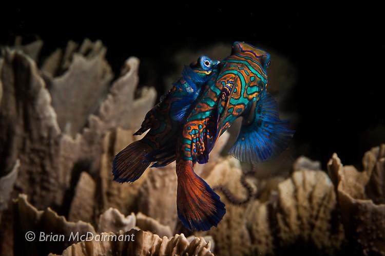 Mandarin Fish Lembeh
