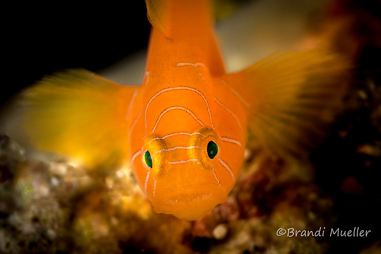Orange Convict Goby, Priolepis sp, Lembeh Strait Indonesia 2015