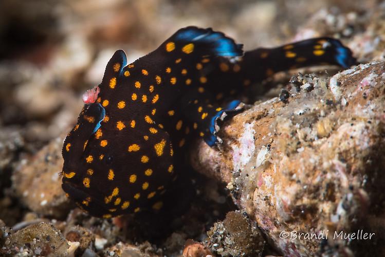 Juvenile Painted frogfish, Antennarius pictus, Lembeh Strait Indonesia August 2015