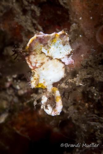 Pygmy seahorse pontohi, Hippocampus pontohi, Lembeh Strait Indonesia August 2015
