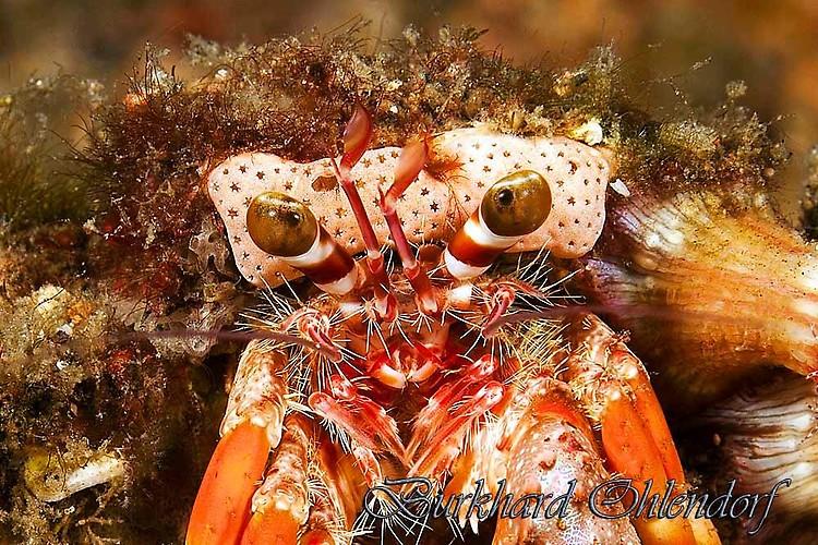 Anemone Hermit Crab, Dardanus pedunculatus, Lembeh Strait Indonesia 2013