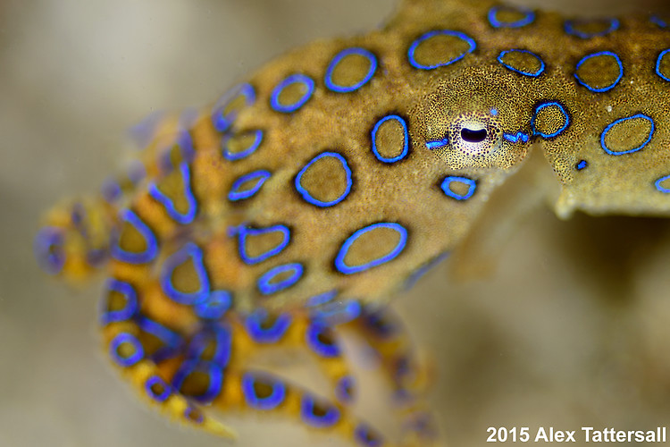 Blue-ringed octopus, Hapalochlaena sp. Lembeh Strait indonesia 2015