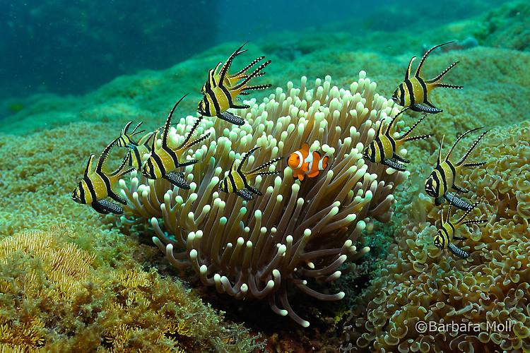 Banggai Cardinalfish, Pterapogon kauderni, Lembeh Strait Indonesia December 2014