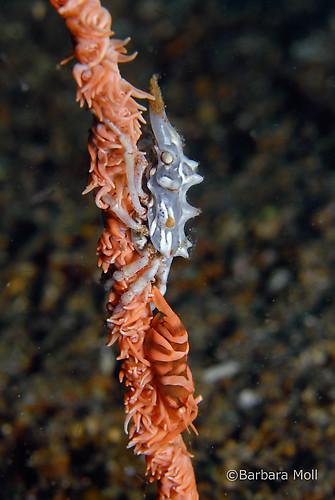 Tuberculatus Xeno crab, Xenocarcinus tuberculatus, Lembeh Strait Indonesia December 2014