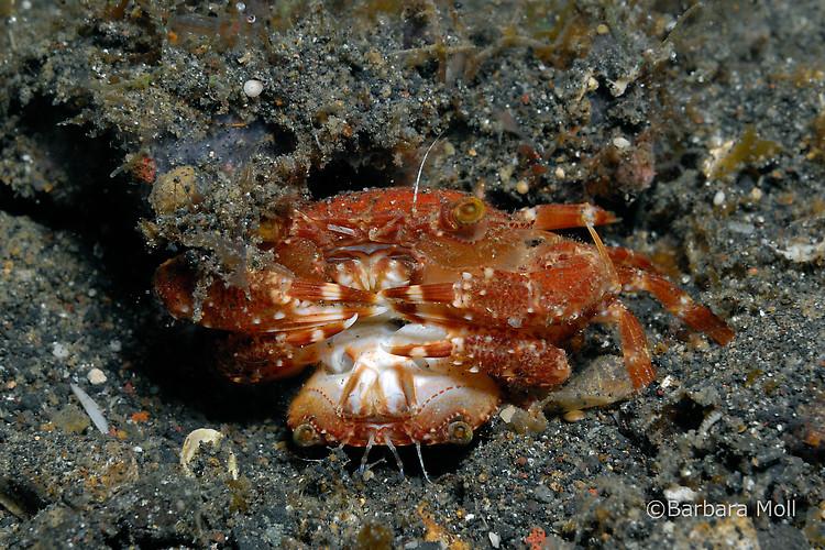 Sargassum swimming crab, Portunus sayi, Lembeh Strait Indonesia December 2014