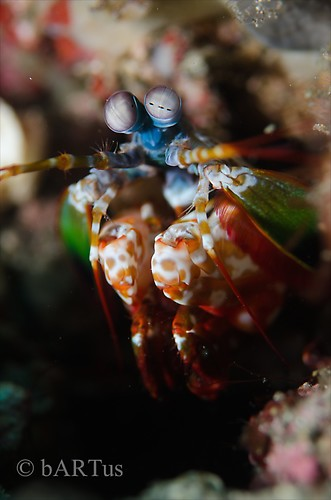 Peacock Mantis Shrimp, Odontodactylus scyllarus, Lembeh Strait Indoensia 2014