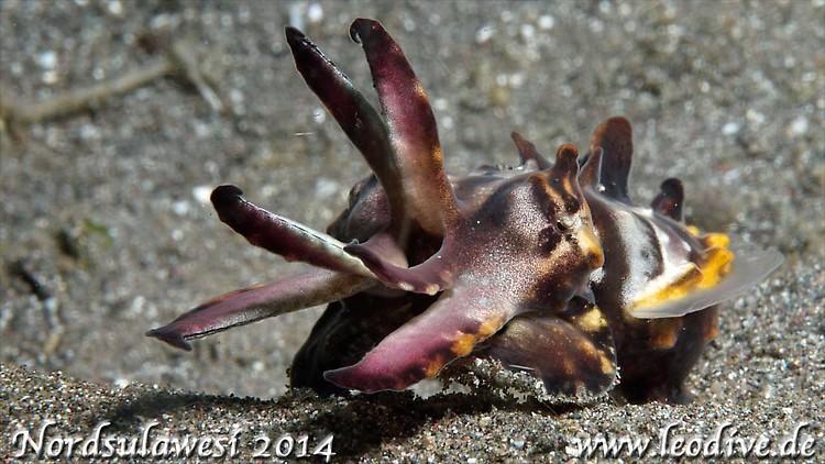 Flamboyant cuttlefish, Metasepia pfefferi, Lembeh Strait Indonesia July 2014