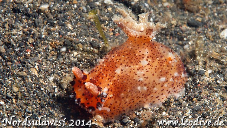 Plocamopherus tilesii, Lembeh strait Indonesia July 2014