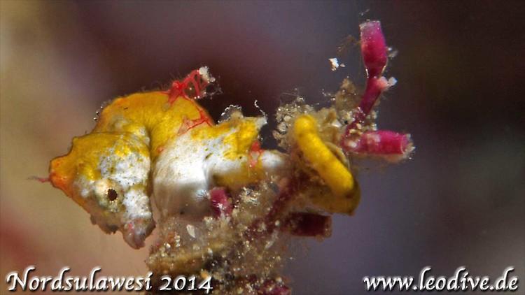 Pygmy Seahorse pontohi, Hippocampus pontohi, Lembeh Strait Indonesia july 2014