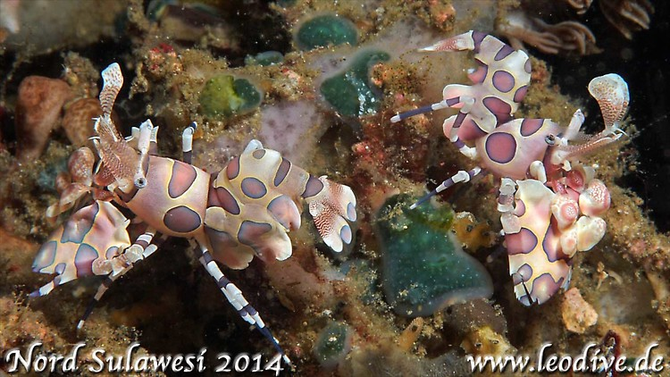 Harlequin-Shrimp (Hymenocera elegans) Lembeh Strait Indonesia 2014
