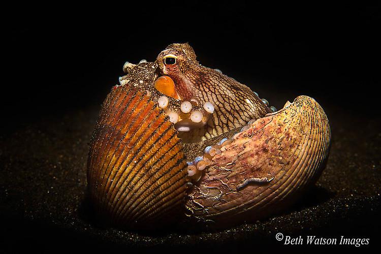 Coconut Octopus (Amphioctopus marginatus) Lembeh Strait Indonesia 2014