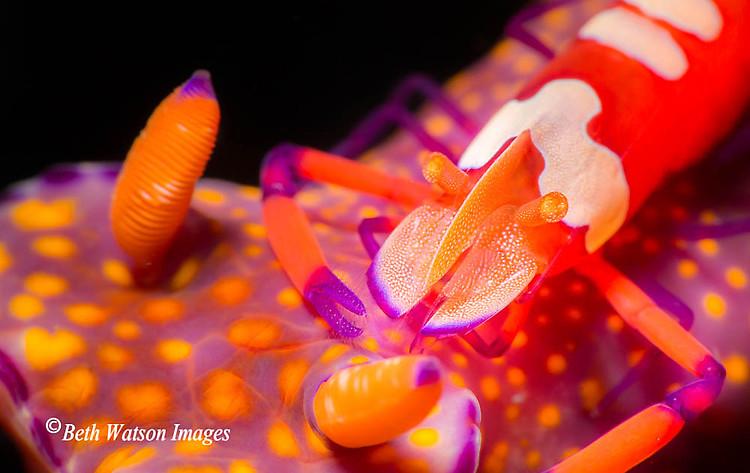 Emperor Shrimp on Ceratosoma tenue, Lembeh Strait Indonesia 2014