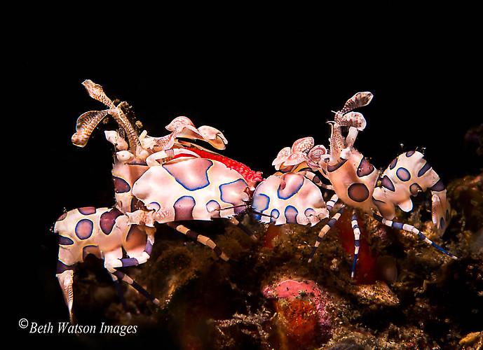 Harlequin Shrimp, (Hymenocera picta), Lembeh Strait Indonesia 2014