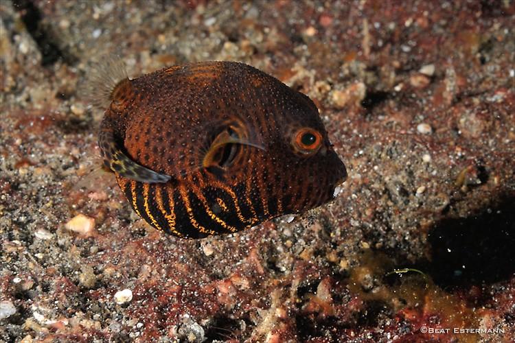 Juvenile Starry Puffer, Arothron stellatus, Lembeh Strait Indonesia, April 2014