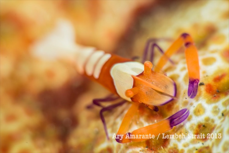 Emperor Shrimp ( Periclimenes imperator ), Lembeh Resort, Indonesia, June 2013
